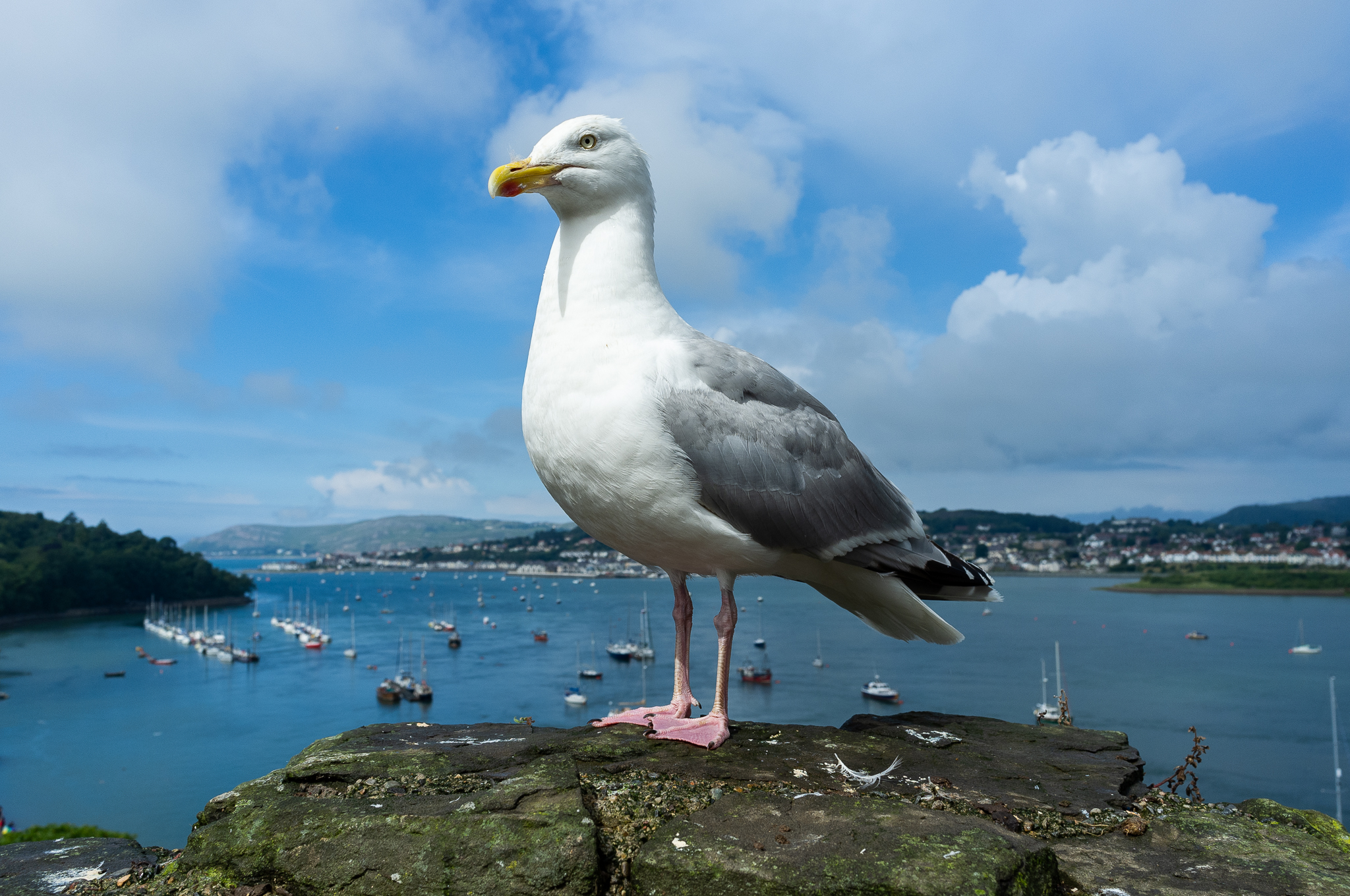 Gull of Conwy Castle