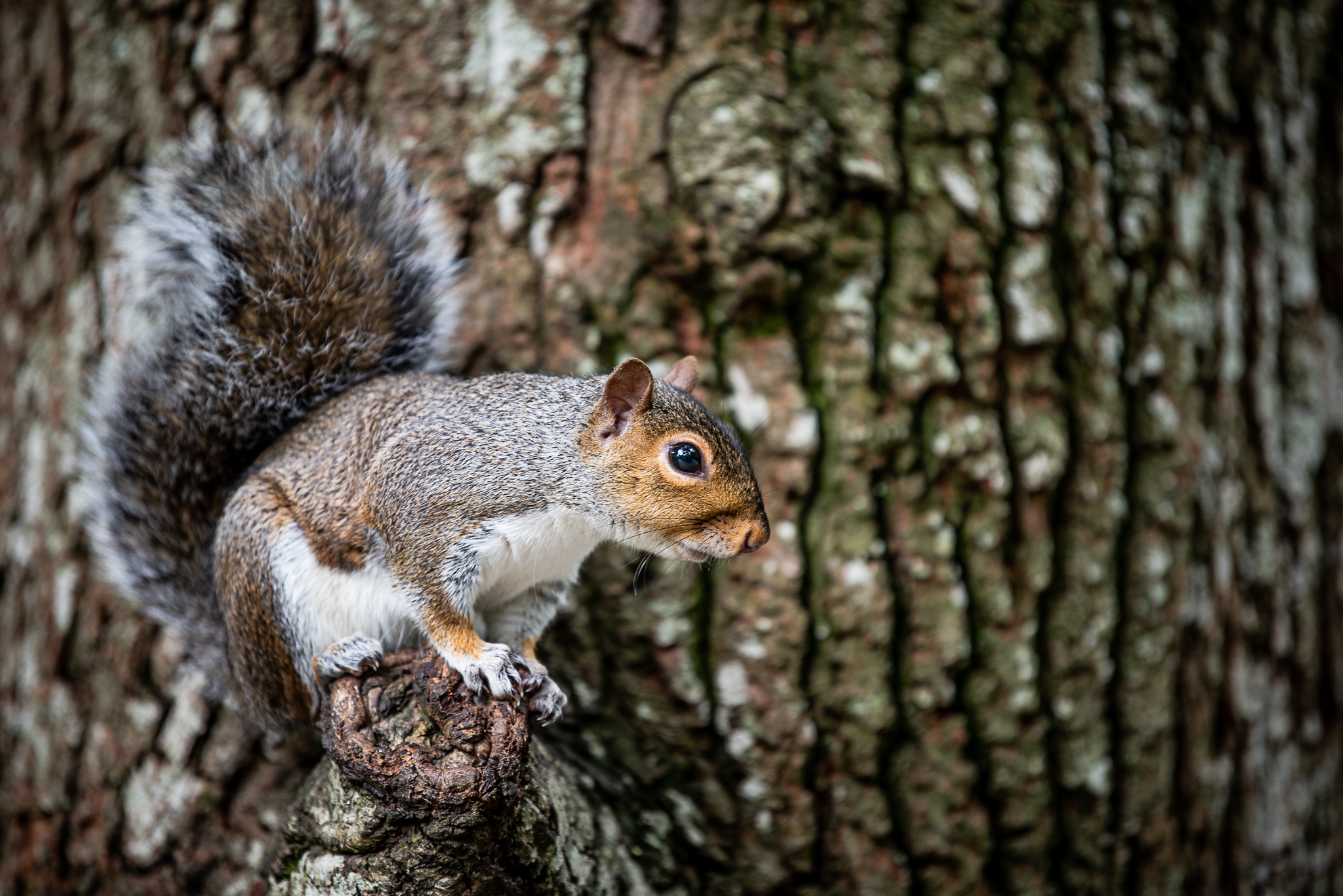 The Pesky Grey Squirrel