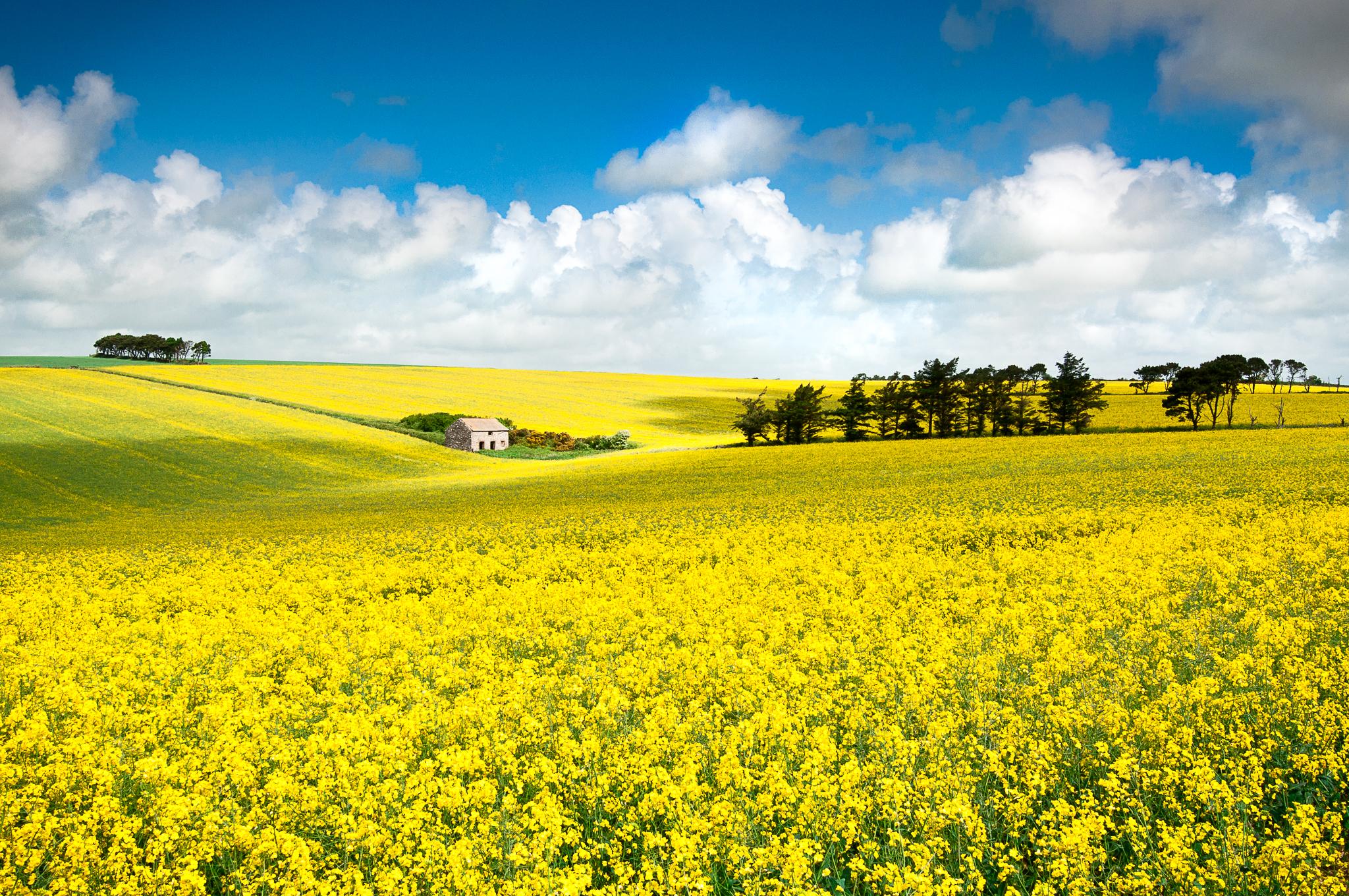 yellow rapeseed field devon