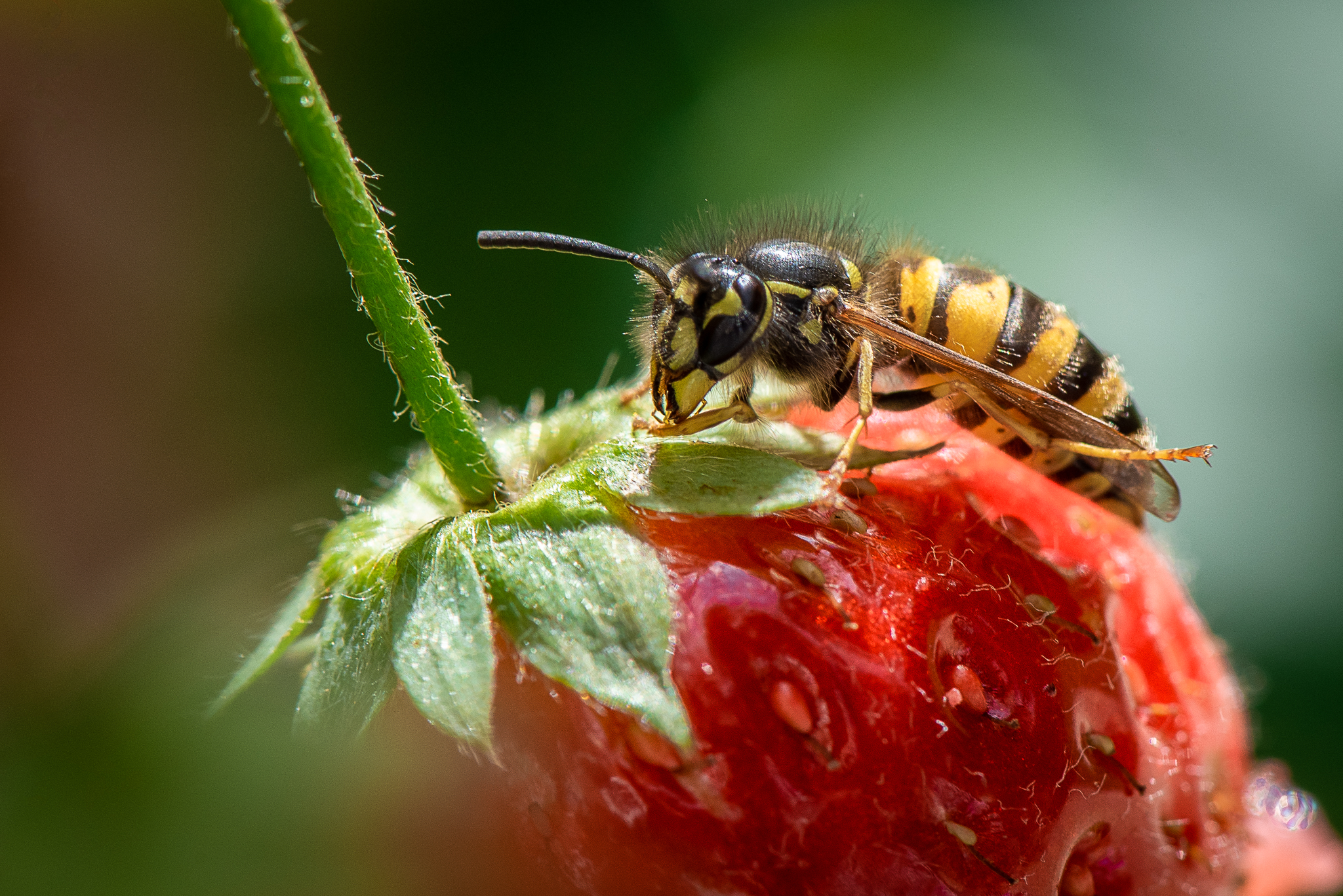 Strawberry Wasp
