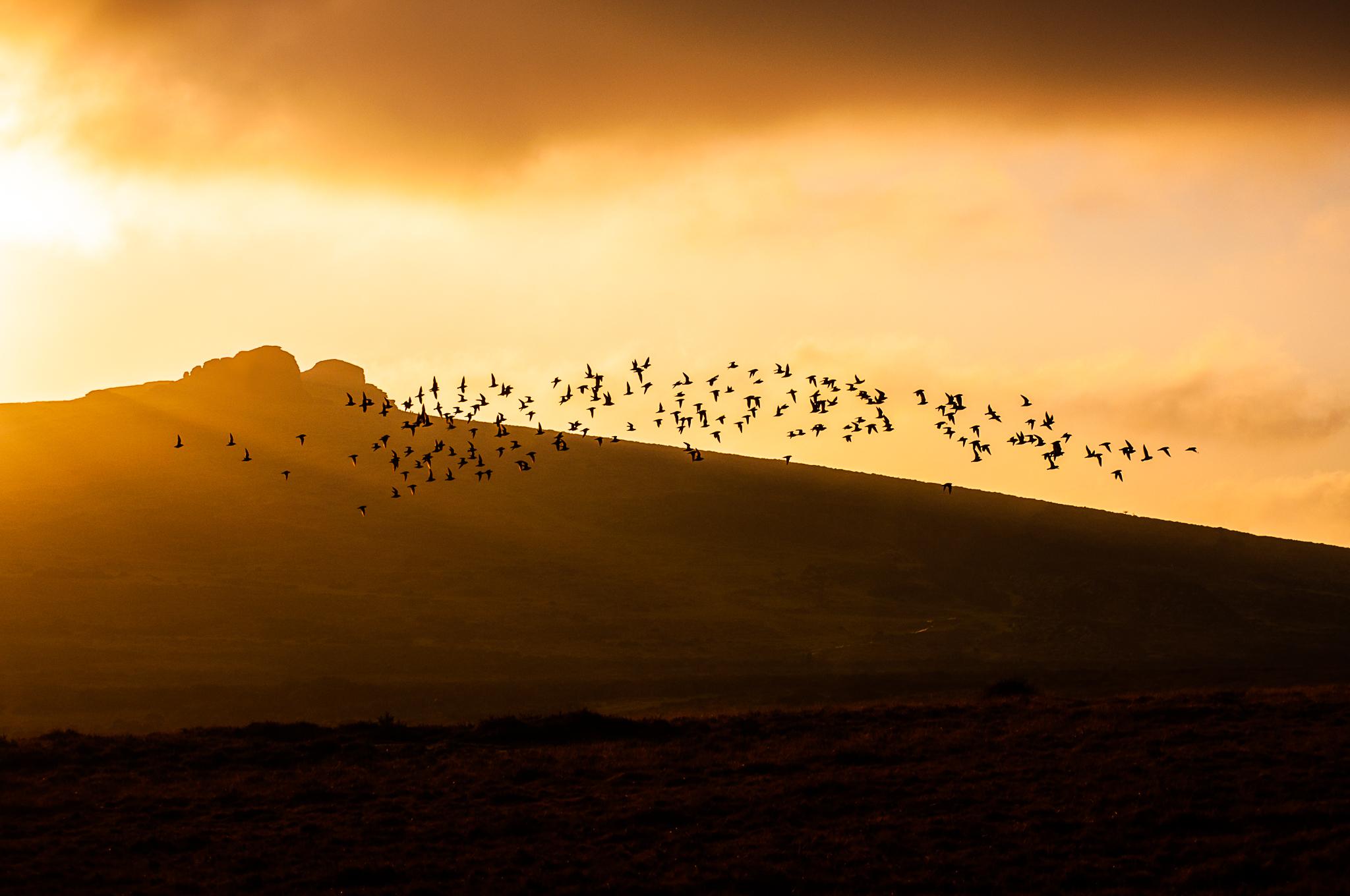 Golden Plovers at Haytor