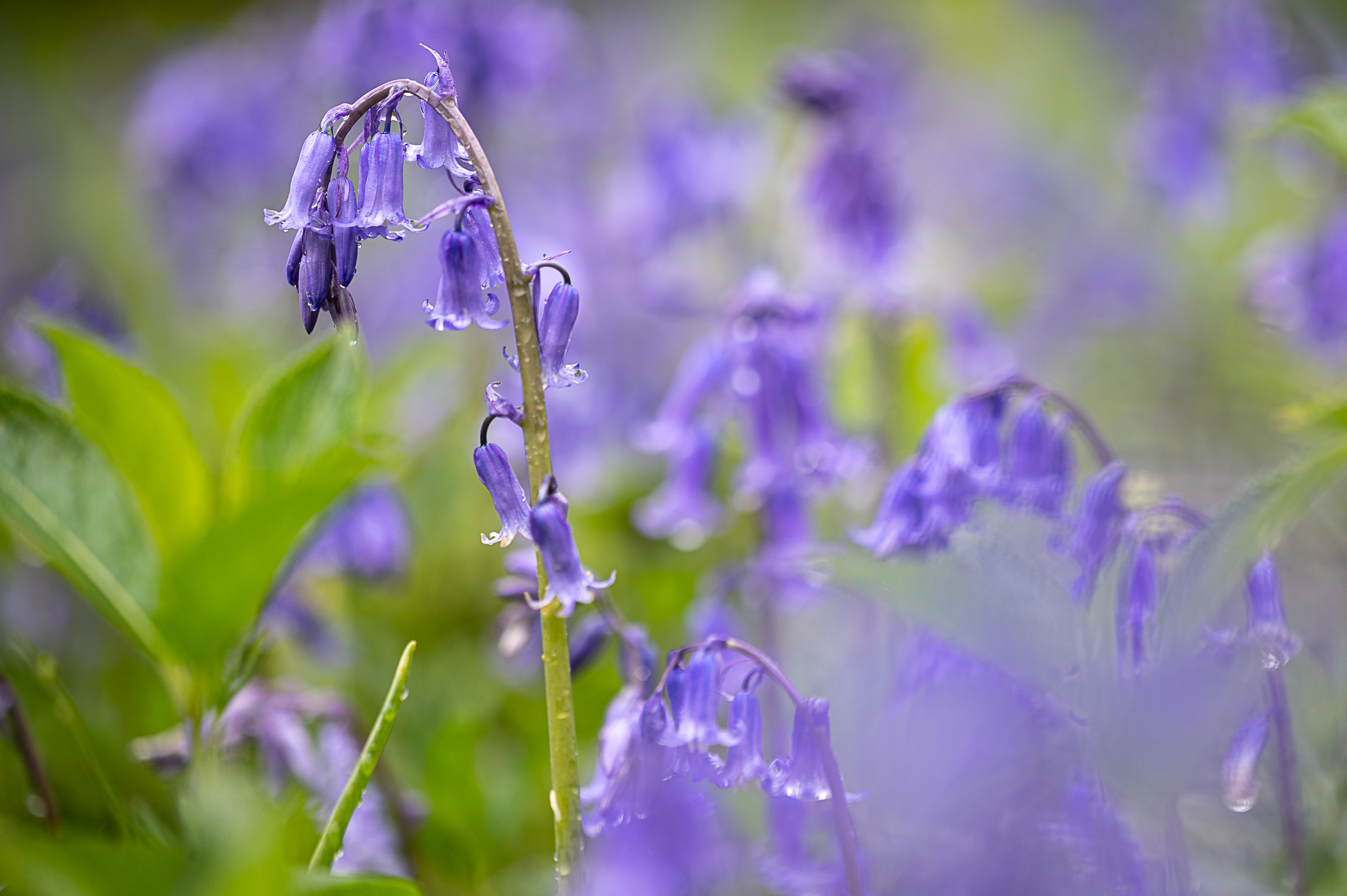 Drenched Bluebells