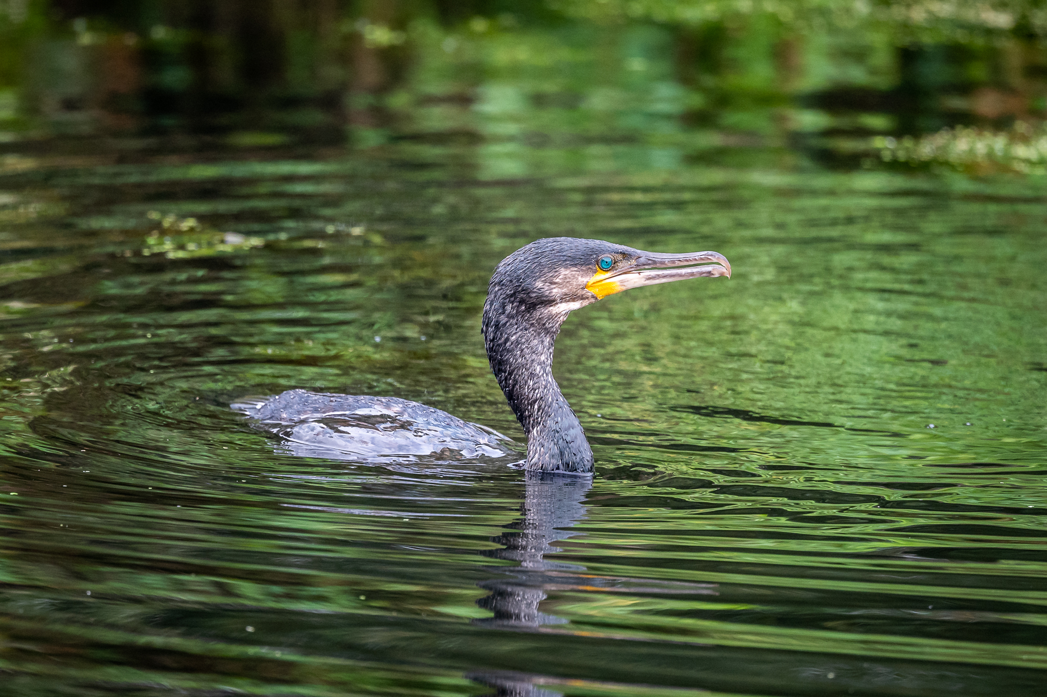 cormorant-fishing-exeter